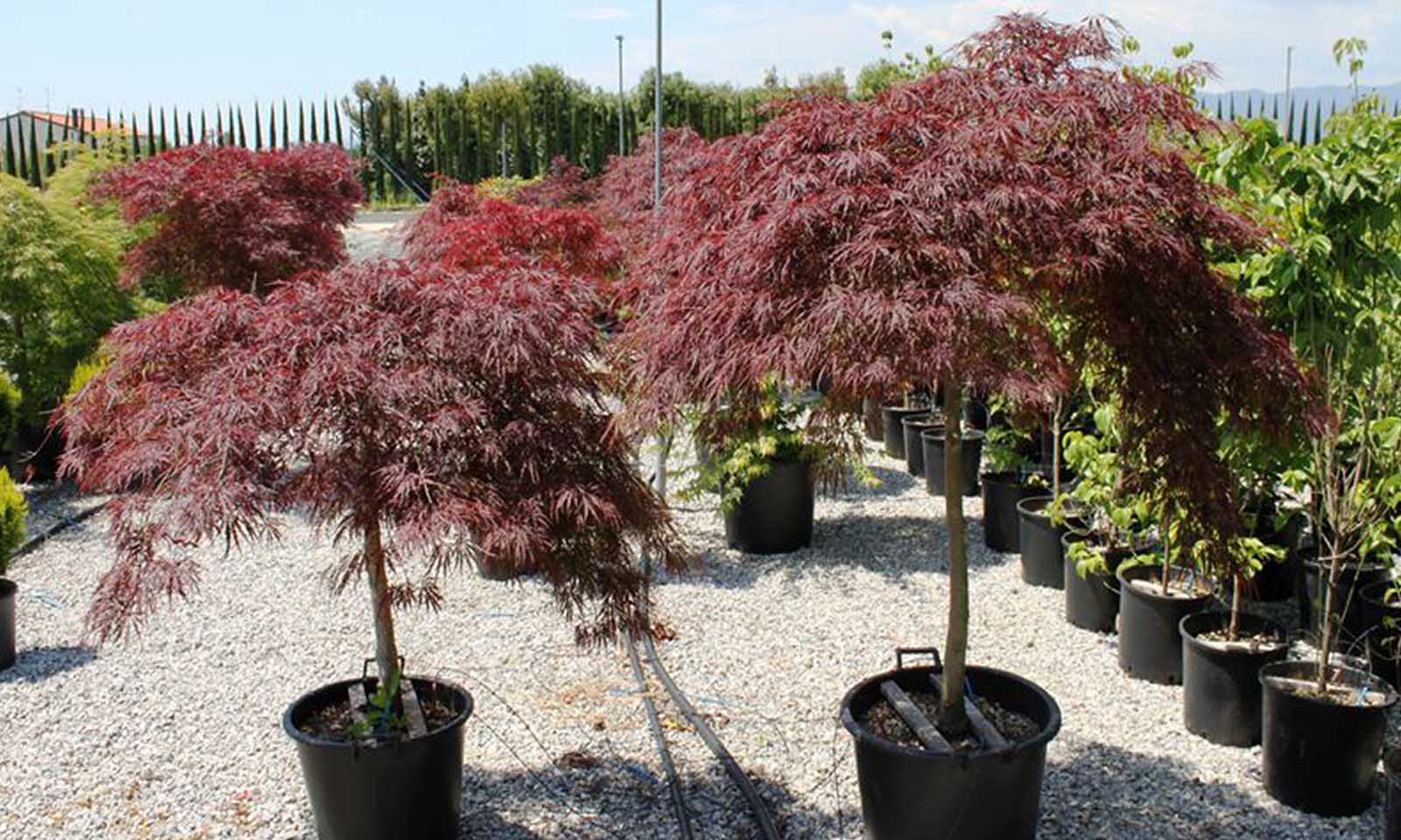 Acer Palmatum Dissectum 'Garnet' (Japanese Maple 'Garnet') - Half standard