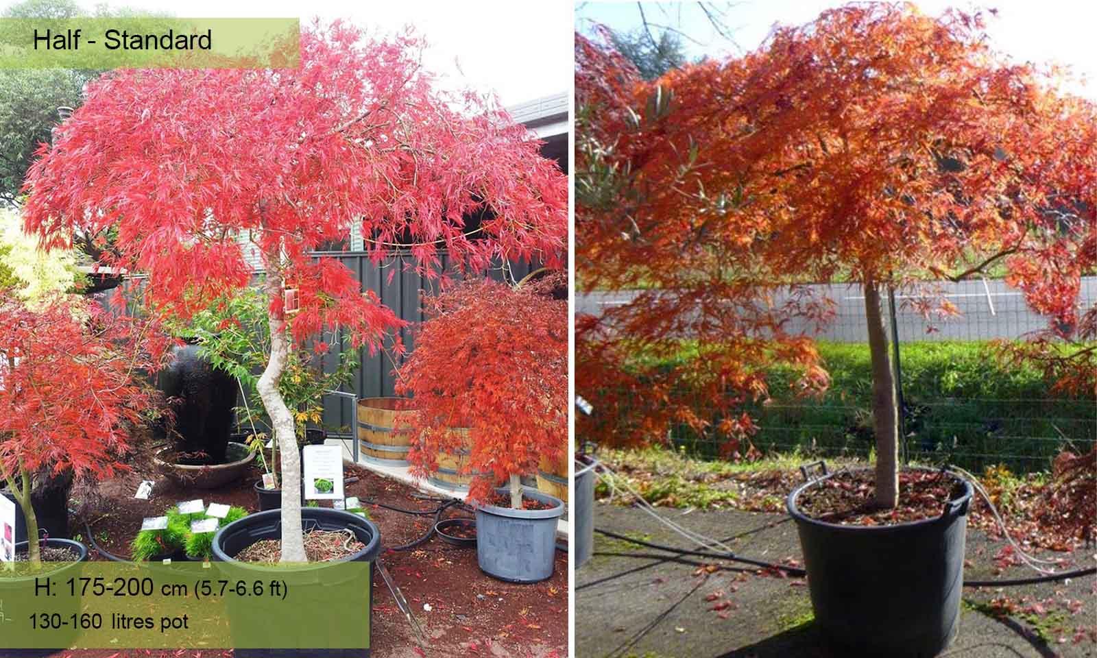 Acer Palmatum Dissectum Viridis (Japanese Maple) - Half Standard