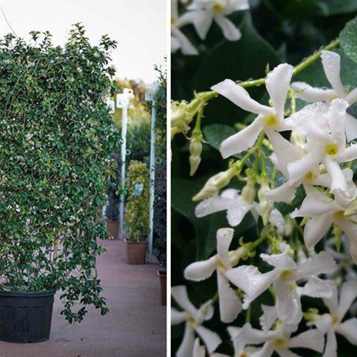 Rhyncospermum Jasminoides / Trachelospermum Jasminoides (Star Jasmine) – Square Espalier
