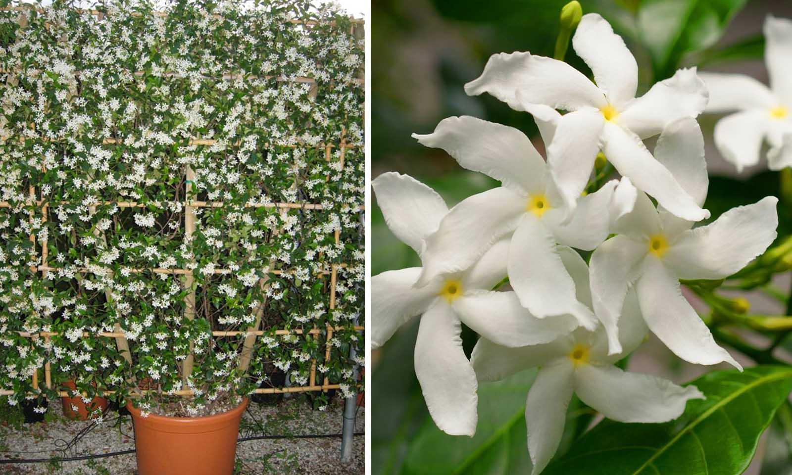 Rhyncospermum Jasminoides – Espalier