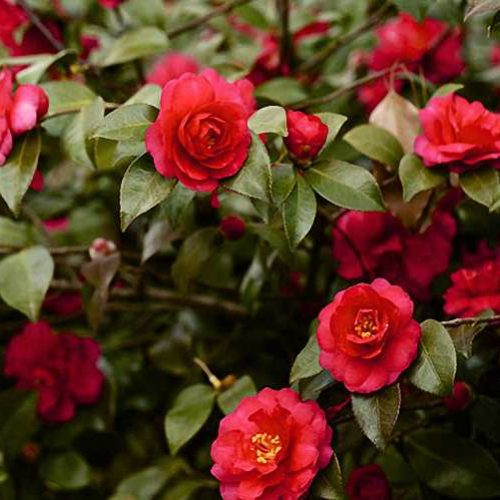 Camellia Japonica Red (Japanese Rose) - Shrub