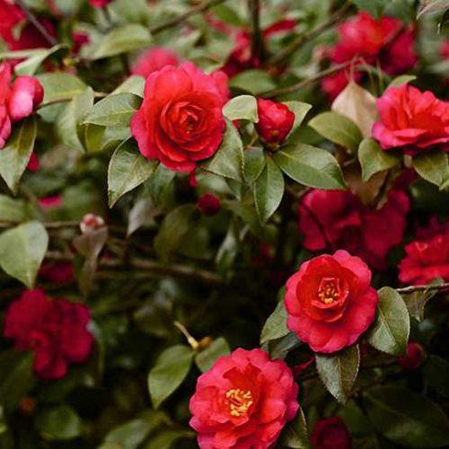 Camellia Japonica Red (Japanese Rose) - Shrub