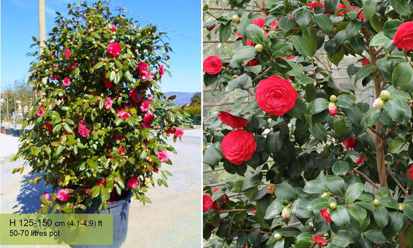 Camellia Japonica Red - Shrub