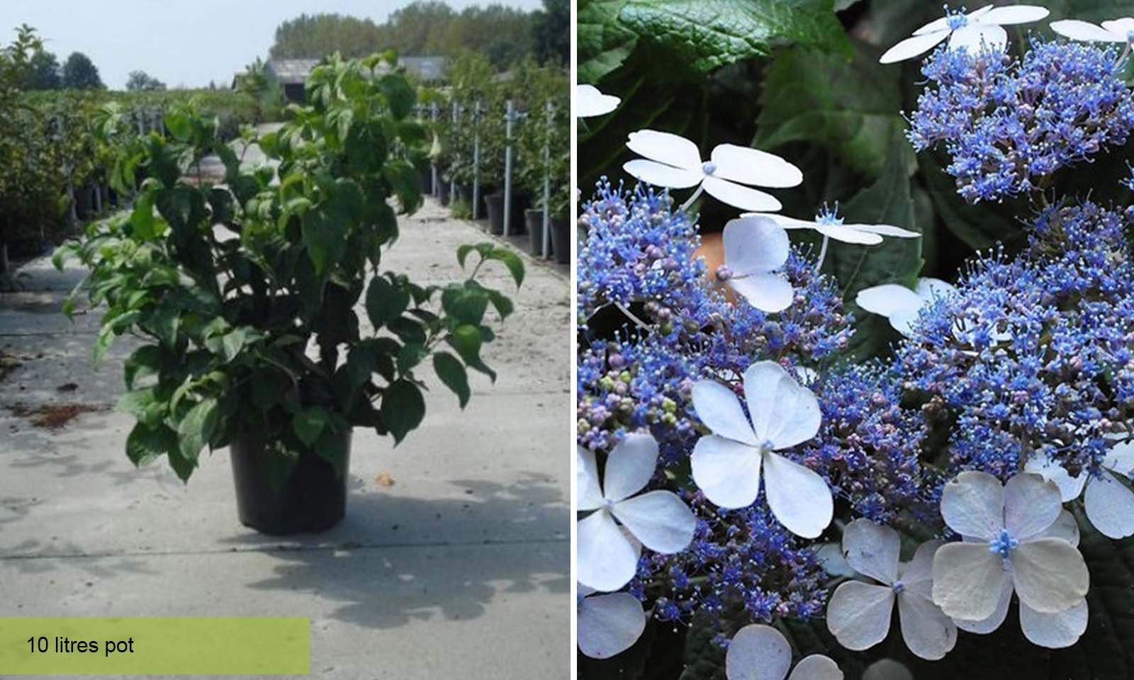 Hydrangea Serrata Blue Bird - Shrub
