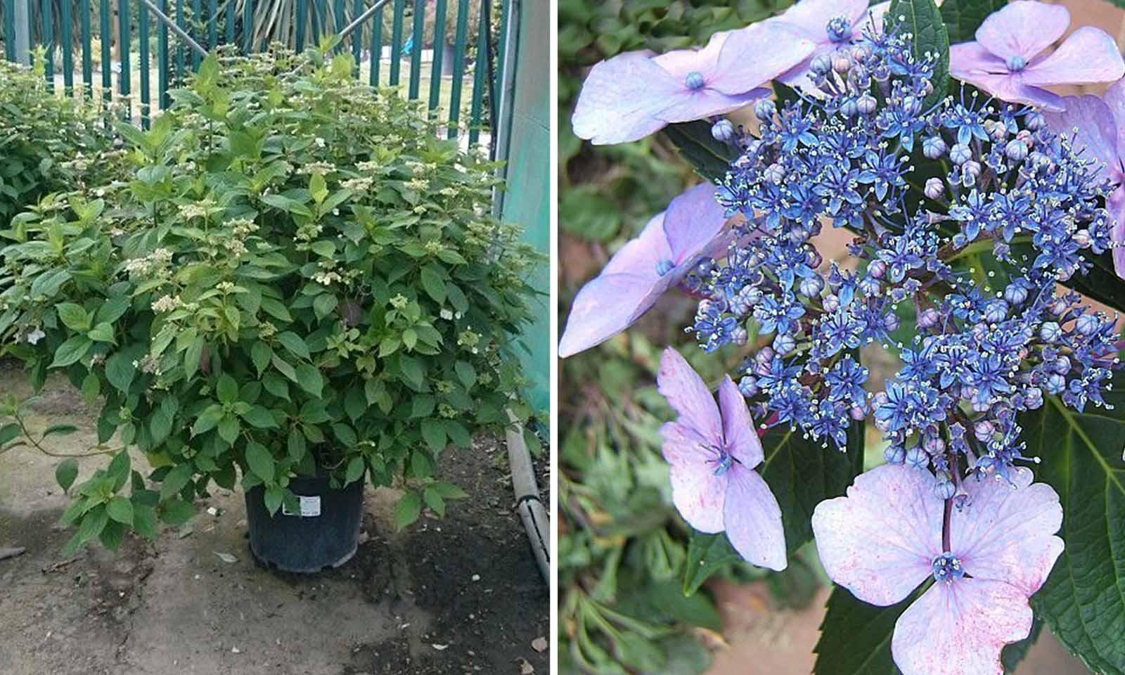 Hydrangea Serrata 'Bluebird' (Hydrangea 'Bluebird') - Shrub
