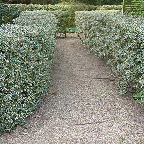 Ilex Aquifolium Argenteomarginata - Shrub