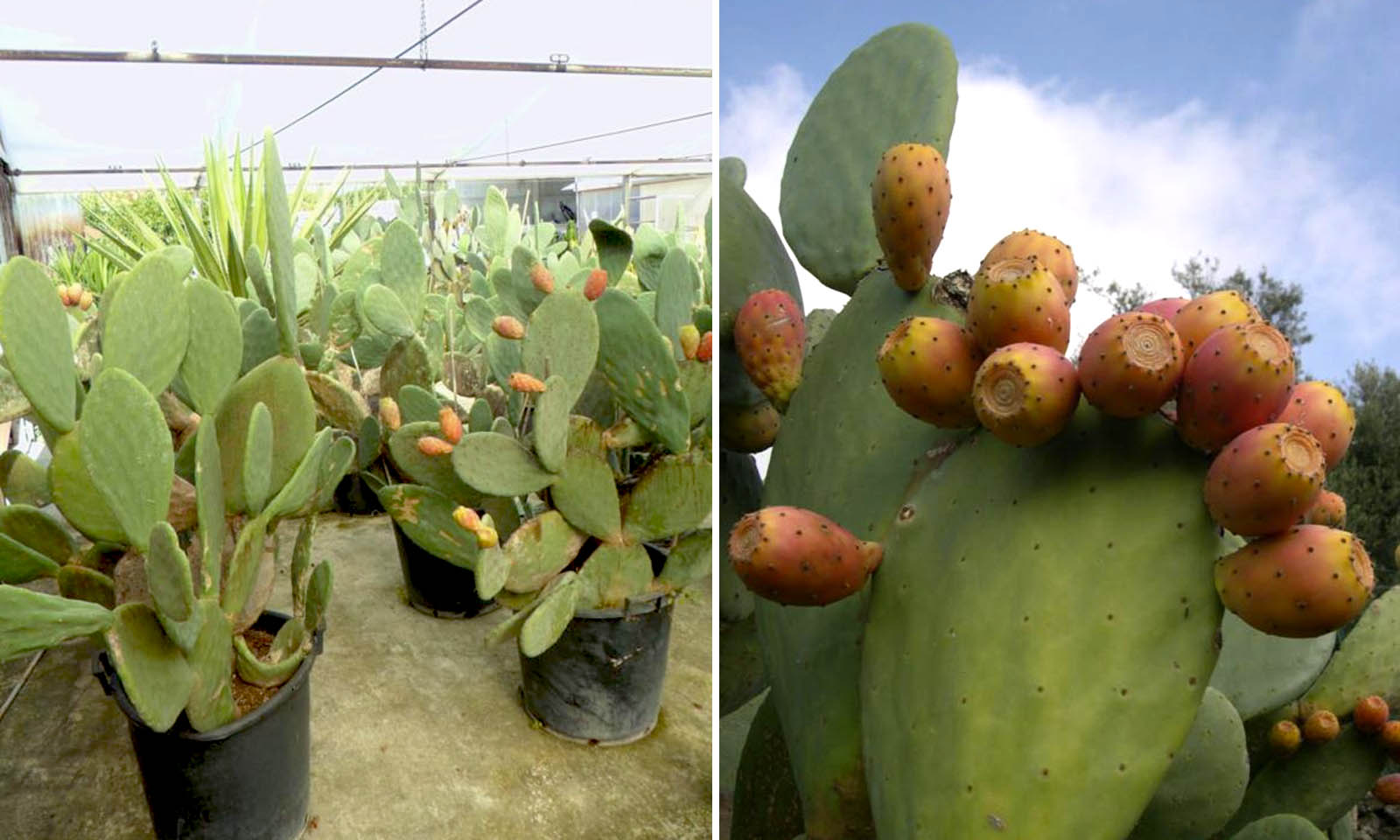 Opuntia Ficus Indica (Indian / Barbary Fig / Prickly Pear)