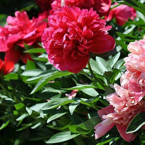 Paeonia Suffruticosa (Common Garden Peony) - Shrub