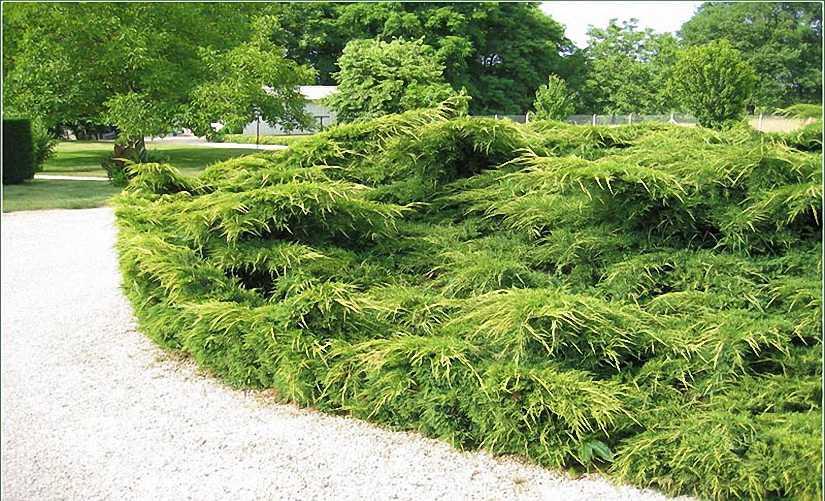 Juniperus x Pfitzeriana Mint Julep (Mint Julep, Chinese Juniper)