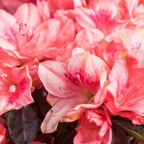 Azalea Japonica Blaauw's Pink - Shrub