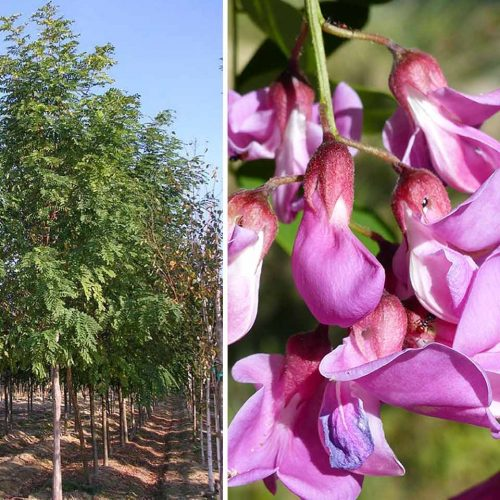 Robinia Pseudoacacia Casque Rouge (Pink Cascade False Acacia) - Standard
