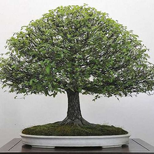 Chinese Elm Bonsai Broom Form (Ulmus parvifolia)