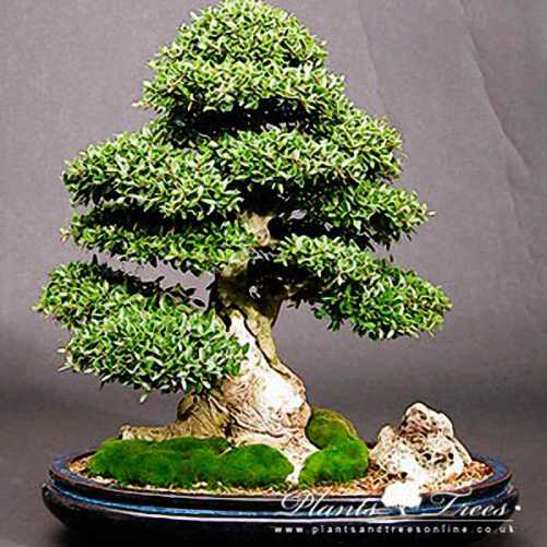 Japanese Holly Bonsai Broom Form