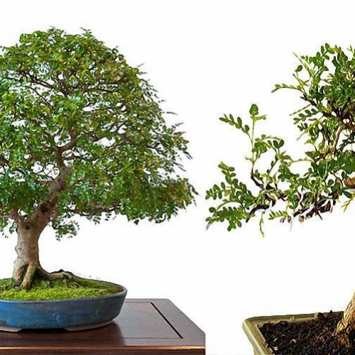 Pepper Tree Bonsai Informal Form (Zanthoxylum Piperitum)