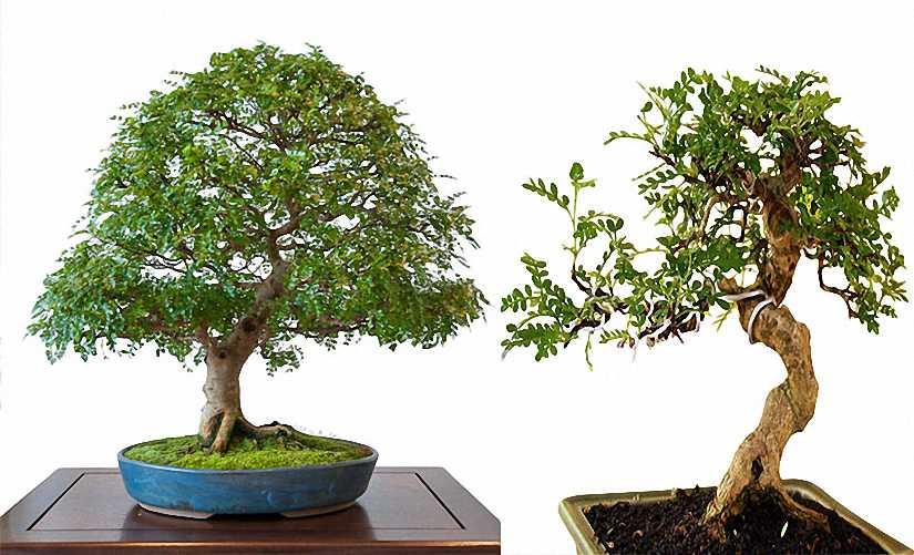 Pepper Tree Bonsai Informal Form (Zanthoxylum Piperitum)