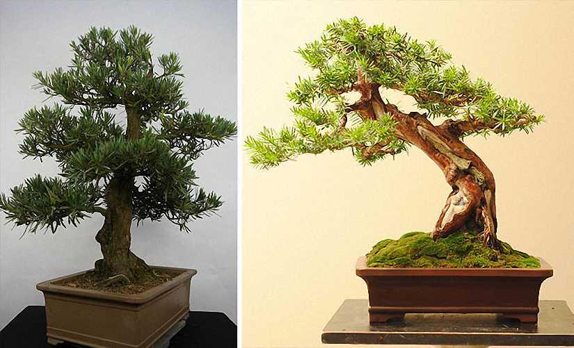 Buddhist Pine Bonsai (Chinese Yew)