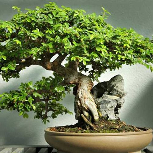 Chinese Elm Bonsai Informal Form (Ulmus parvifolia)