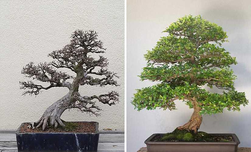 Chinese Elm Bonsai Informal Form (Ulmus parvifolia)