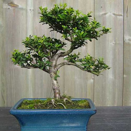 Japanese Holly Bonsai Informal Form (Ilex Crenata)