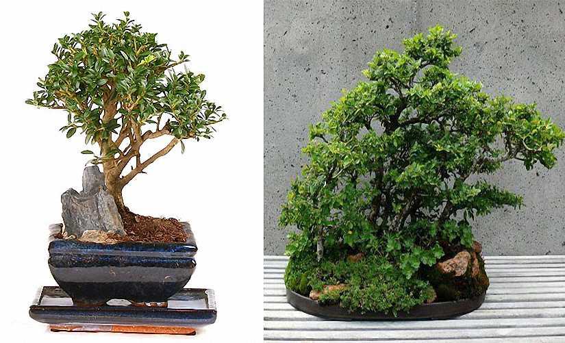 Japanese Holly Bonsai Informal Form (Ilex Crenata)