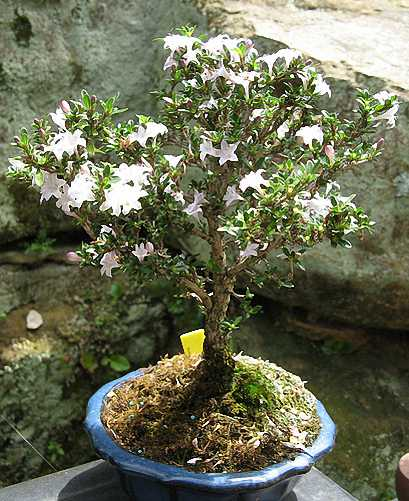 Serissa Bonsai Broom Shape (Japanese Boxthorn, Snowrose)