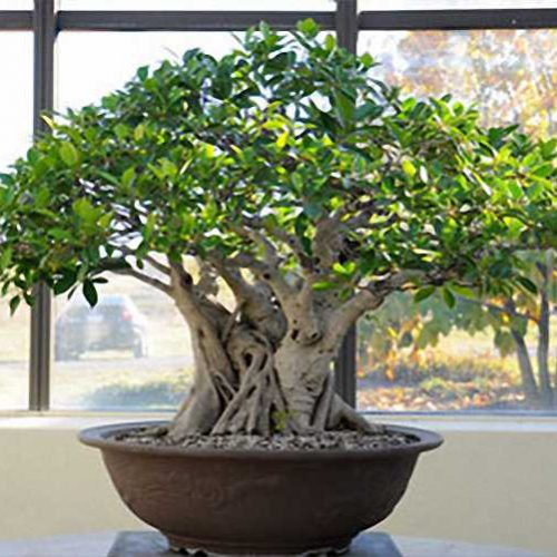 Ficus Bonsai Informal Form (Chinese Banyan)