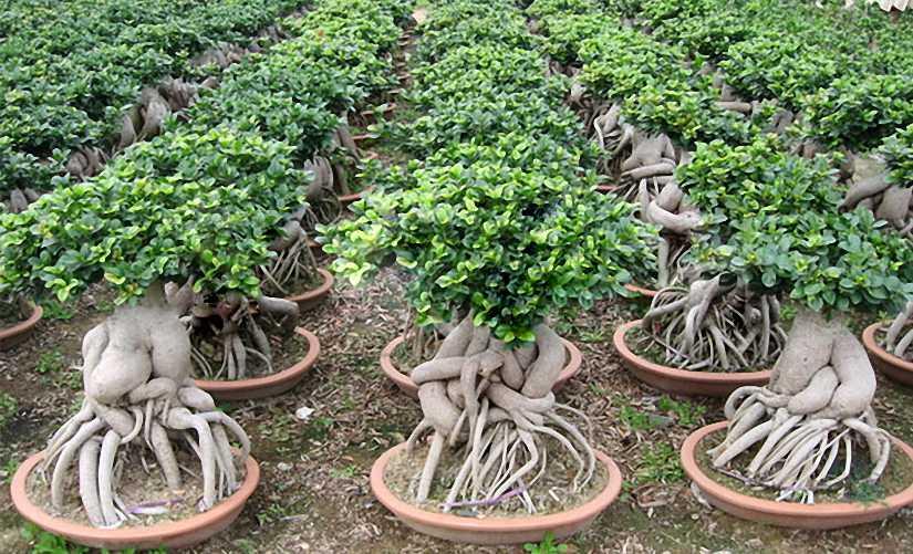 Ficus Bonsai Informal Form (Chinese Banyan)