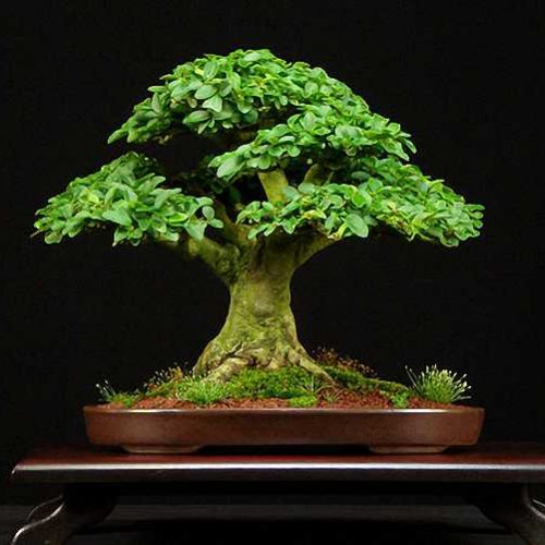 Ligustrum Bonsai (Shape on Rock)