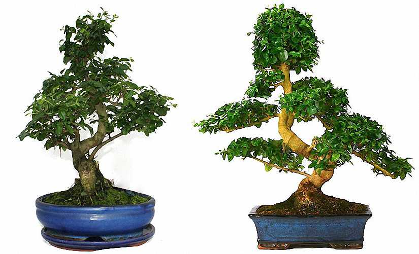 Ligustrum Bonsai (Shape on Rock)