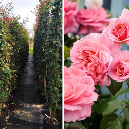 Rosa (Repeat-Flowering Roses) - Climbing