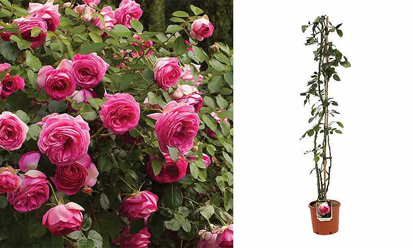 Rosa (Repeat-Flowering Roses) - Climbing