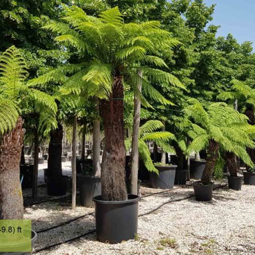 Dicksonia Antarctica (Australian Tree Fern)