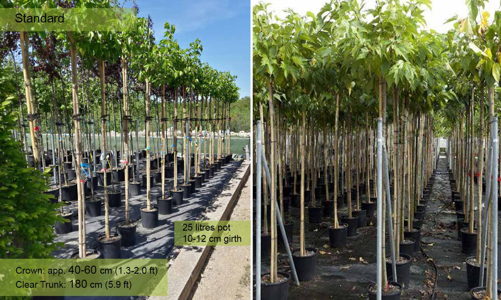 Morus Platanifolia Fruitless (Mulberry) - Standard
