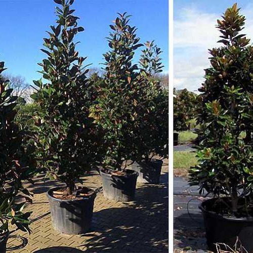 Magnolia Grandiflora Gallisoniensis (Southern Magnolia) - Shrub
