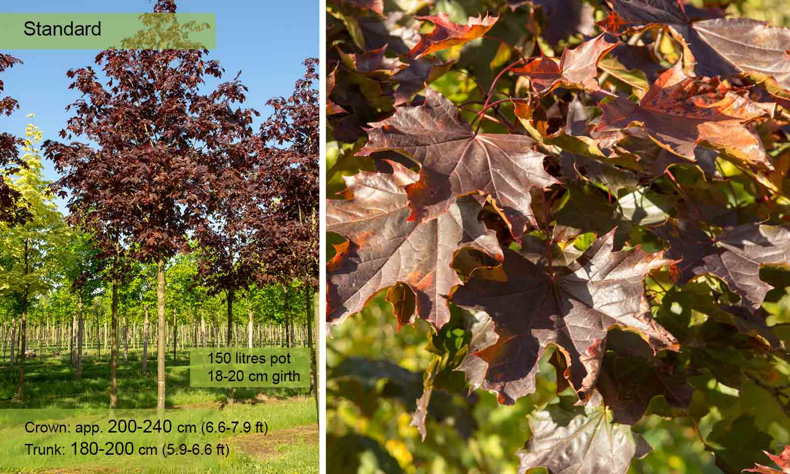 Acer Platanoides Royal Red (Norway Maple) - Standard