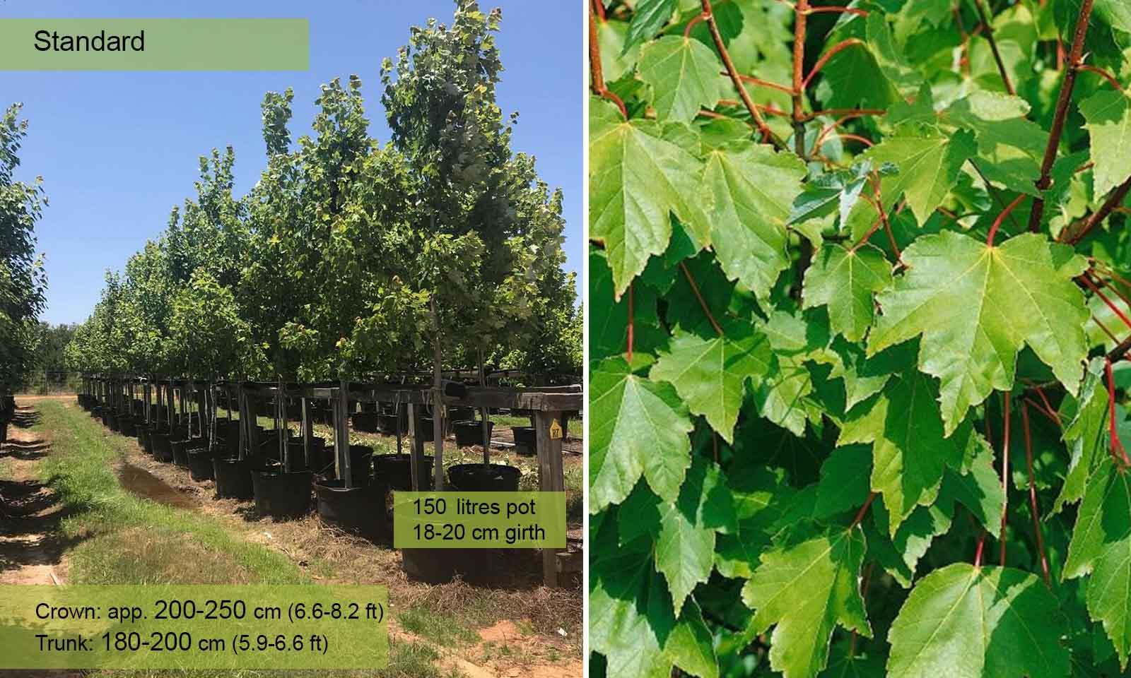 Acer Rubrum October Glory - Standard