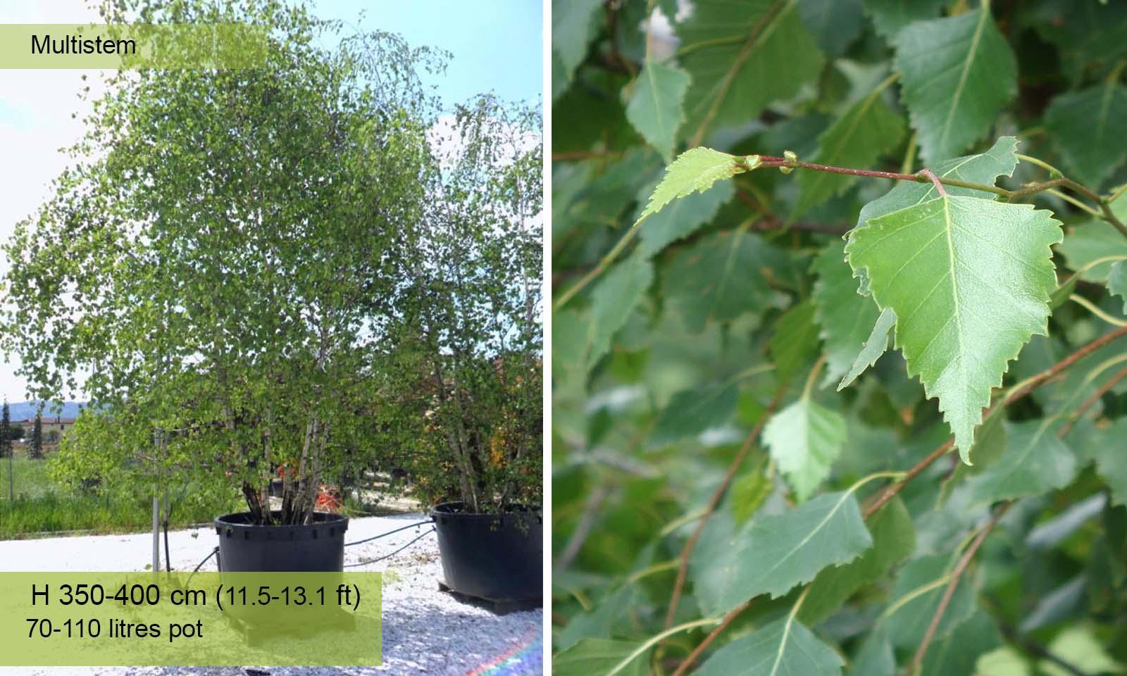 Betula Pendula (Silver Birch) - Multistem