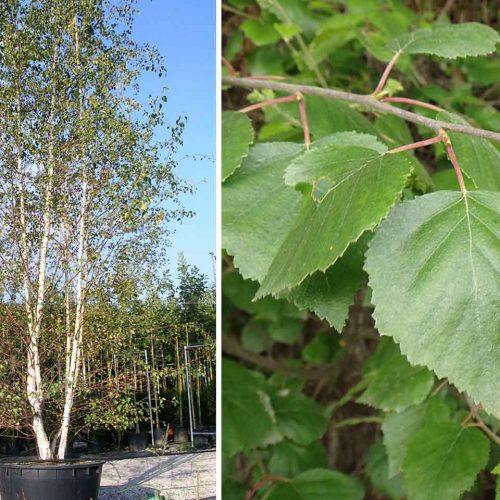 Betula Pendula (Silver Birch) - Multi-Stem