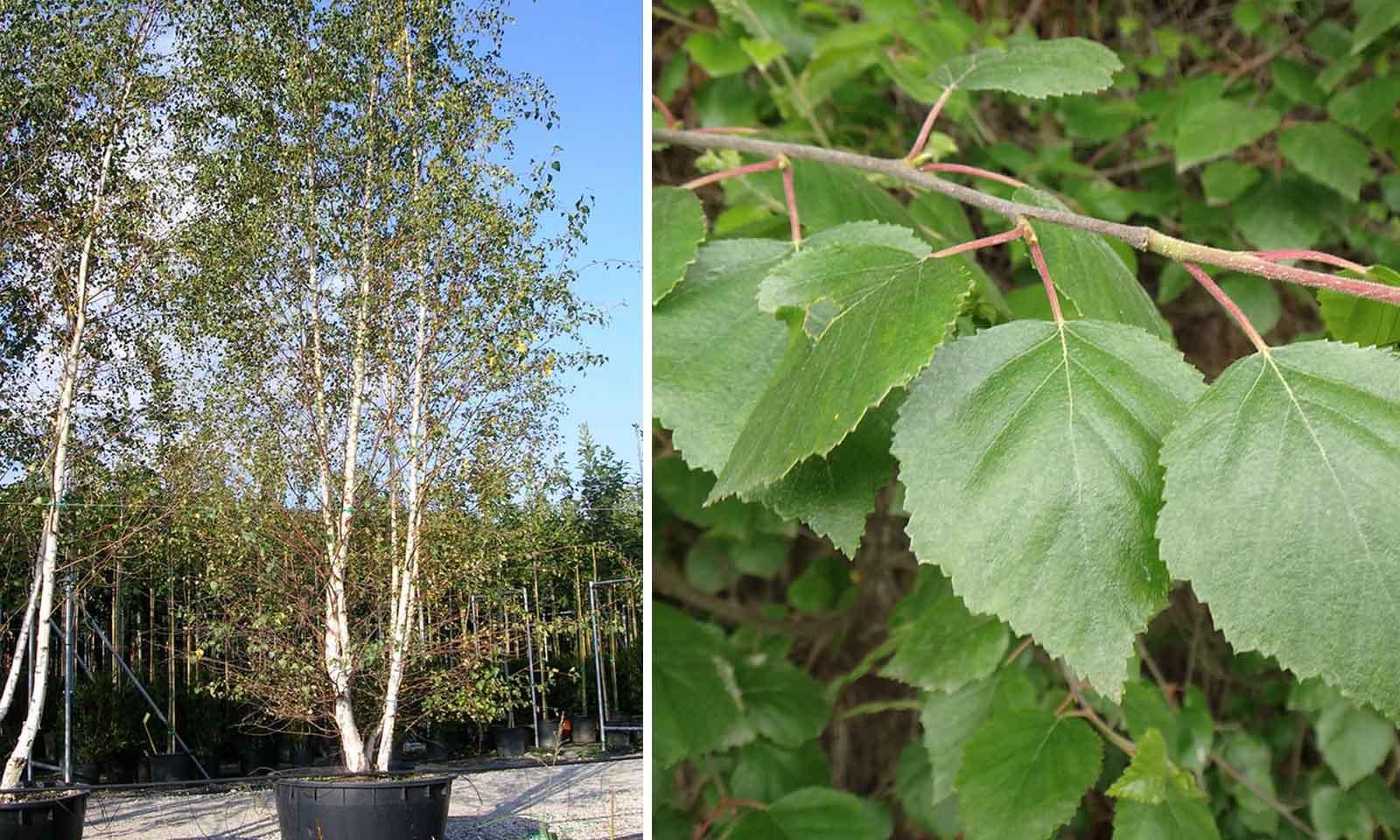 Betula Pendula (Silver Birch) - Multi-Stem