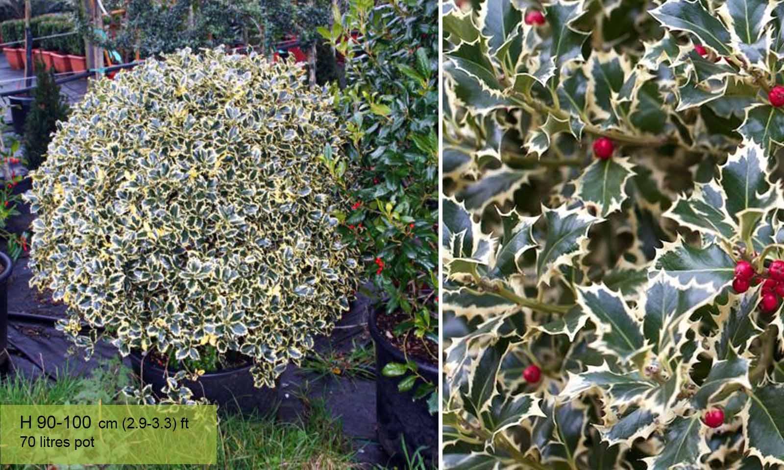 Ilex Aquifolium Variegatum (Variegated English Holly) – Ball