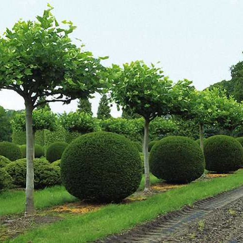 Buxus Microphylla Faulkner - Ball