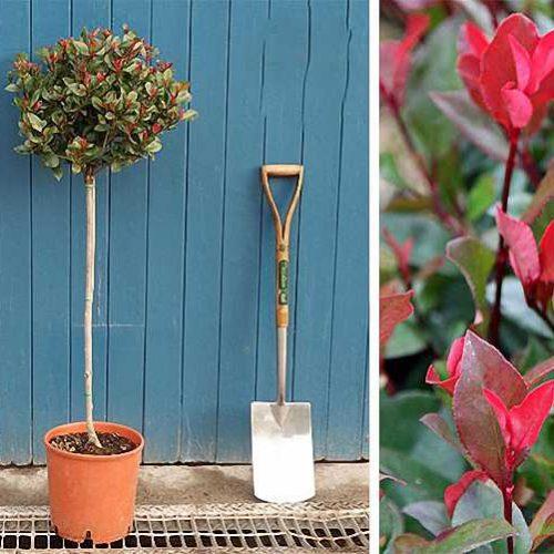 Photinia Serrulata Red Robin Tree (Christmas Berry) – Standard