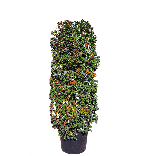 Cylinder Shaped Plants