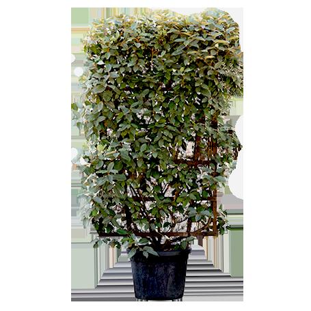 Espalier Shaped Plants