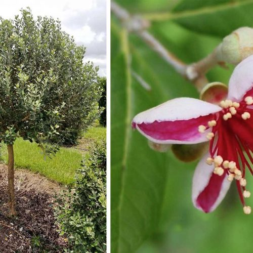 Feijoa Sellowiana (Pineapple Guava Tree / Acca sellowiana) - Half Standard