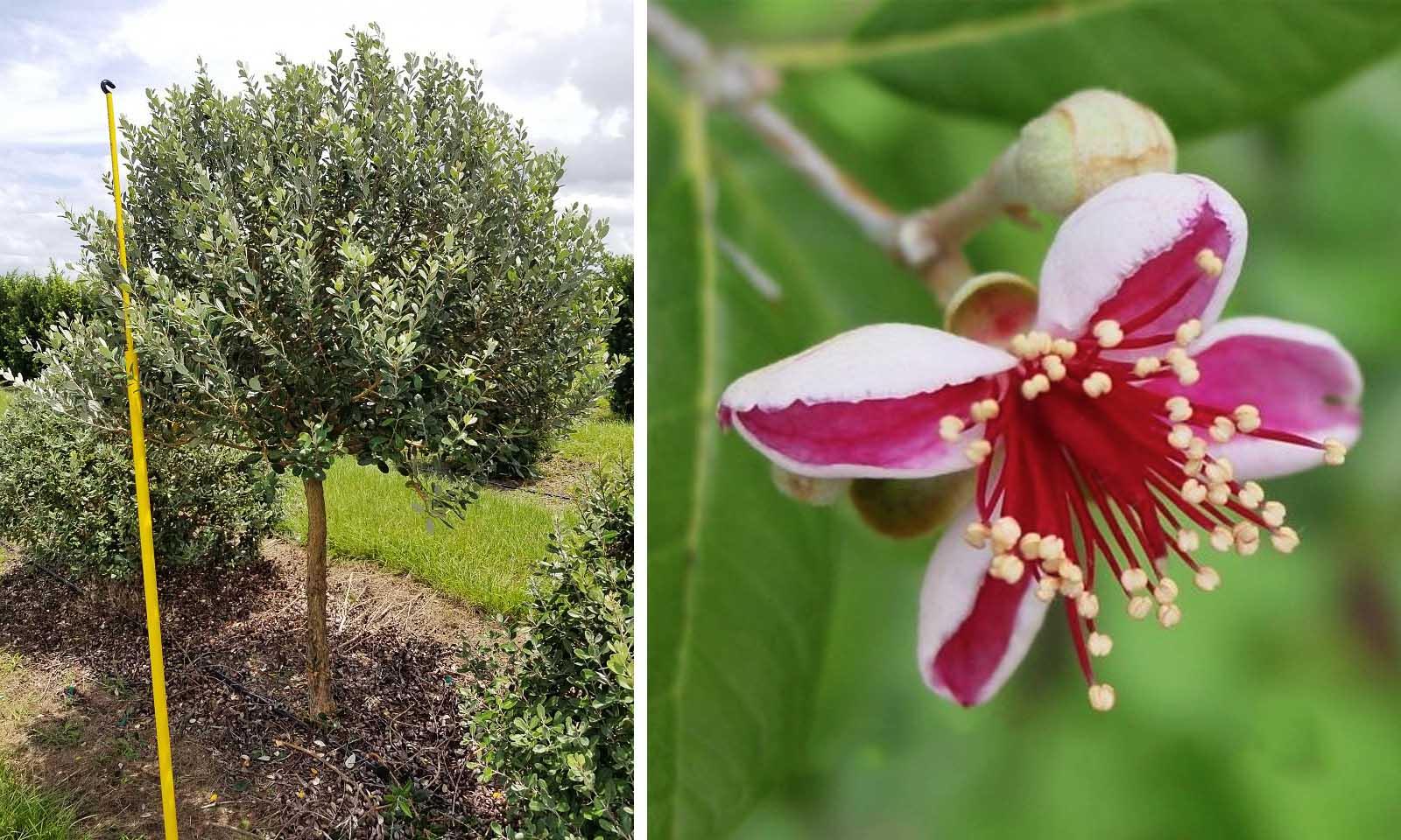 Feijoa Sellowiana (Pineapple Guava Tree / Acca sellowiana) - Half Standard