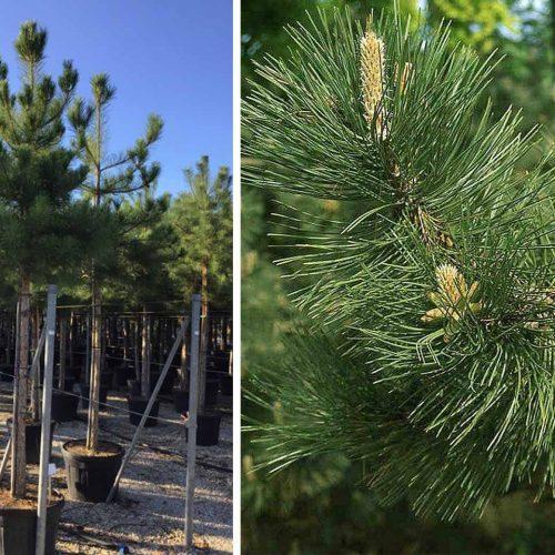 Pinus Nigra Austriaca (Austrian Black Pine) – Standard