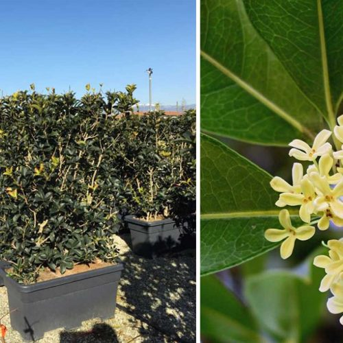 Osmanthus Aquifolium (Holly Olive / False Holly) – Instant Hedging