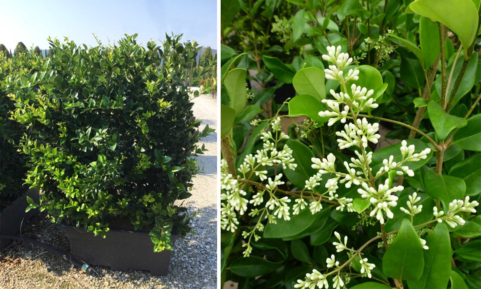 Ligustrum Japonicum 'Texanum' (Japanese Privet 'Texanum') – Instant Hedging
