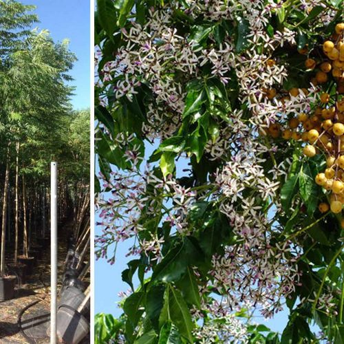 Melia Azedarach (Chinaberry Tree) - Standard